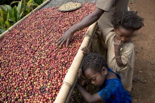 Kávétermesztés Etiópiában. Forrás: www.coutausse.com, Conclude Zrt.