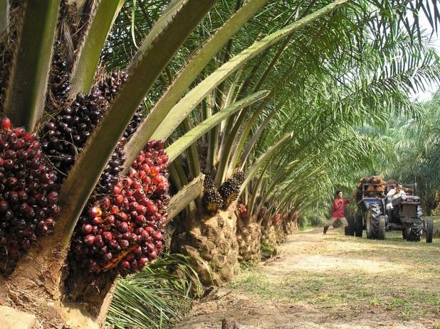Olajpálma-ültetvény Indonéziában. Forrás: www.prweb.com, Conclude Zrt.
