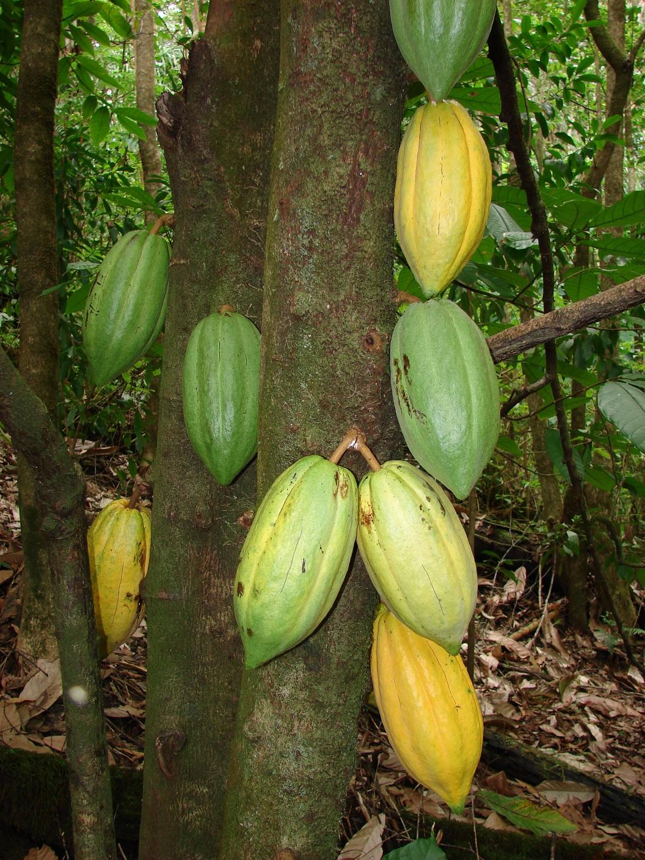 Kakaófa törzse élő gyümölcsökkel. Forrás: hu.wikipedia.org, Conclude Zrt.