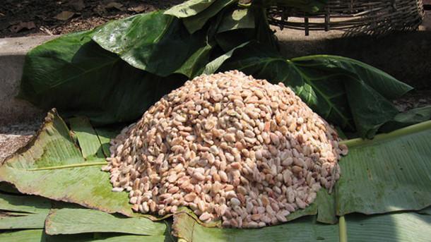 Erjesztésre előkészített kakaóbabok banánlevélen. A magokat még fehér pulpa takarja.; Forrás: Hardman & Co., Conclude Zrt.