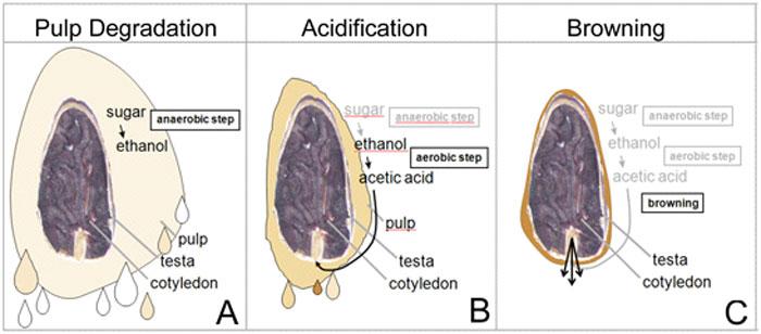A kakaóbab erjesztésének ábrája. Az első anaerób fázisban a pulpában lévő cukor alkoholra és széndioxidra bomlik, a második fázisban oxigén jelenlétében az alkohol megecetesedik, majd a harmadik fázisban kialakul a kakaómag vörösbarna színe.; Forrás: Hardman & Co., Conclude Zrt.