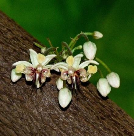 A kakaófa törzsén, ágain jelennek meg az apró fehér virágok Fotó: Anne Elliott; Forrás: Hardman & Co., Conclude Zrt.