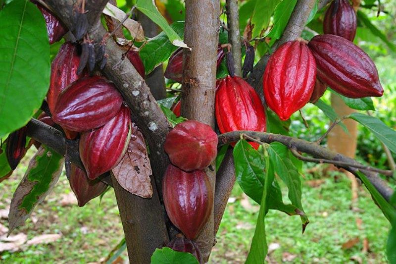 Érett termésekkel bőven megrakott kakaófa Fotó: charleys.com