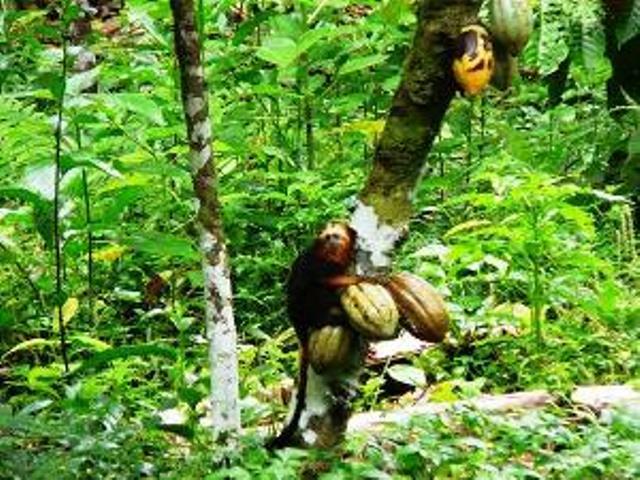 A veszélyeztetett aranyfejű oroszlán tamarin majom egy Cabruca agroforest-ben. forrás: Leonardo Oliviera