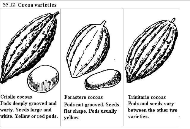 Kakaófajták. A Trinitario a Criollo és a Forastero között van a külső jegyek alapján; Forrás: Hardman & Co., Conclude Zrt.