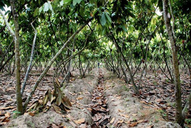 Monokultúrában termesztett CCN-51-es fajta, Ecuador Guayas folyó mente; Forrás: Hardman & Co., Conclude Zrt.